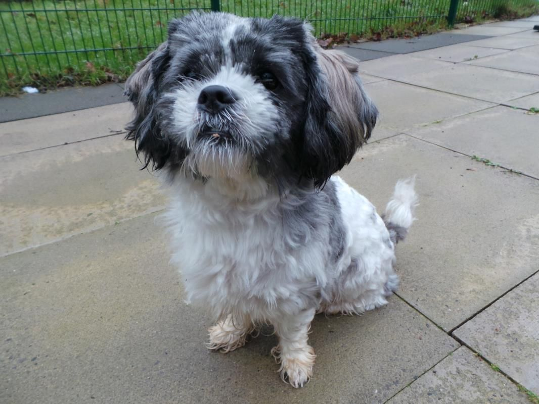 Adopt A Dog Charlie Shih Tzu Dogs Trust Dogs Dog Adoption
