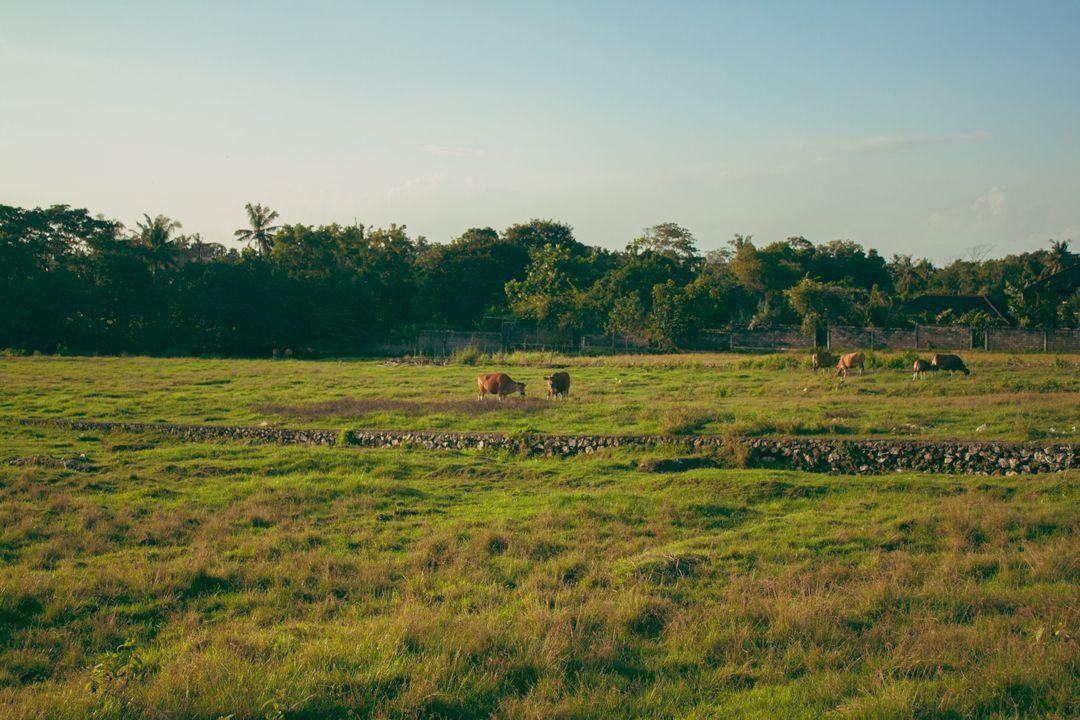 Cows in Canggu #bali