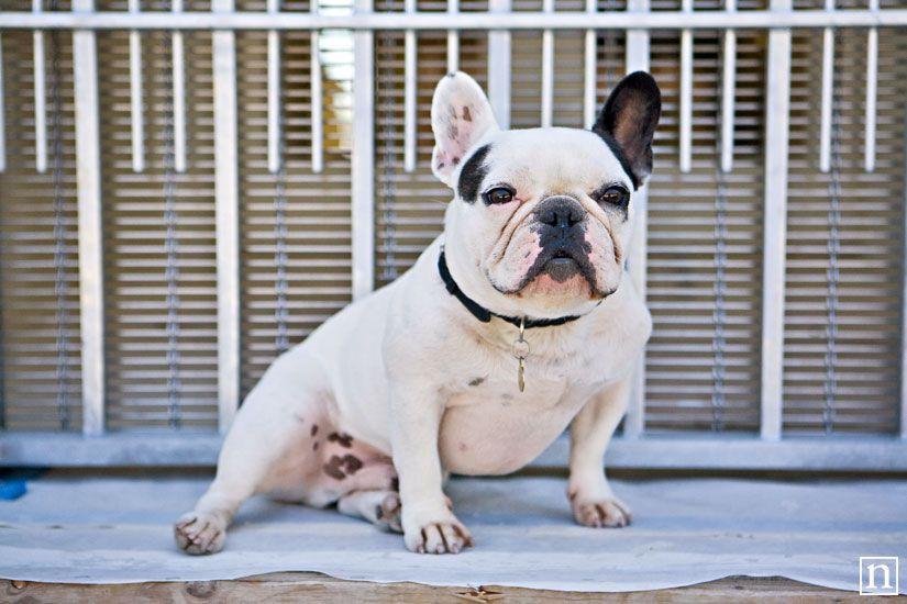 Charlie The French Bulldog San Francisco Pet Photographer
