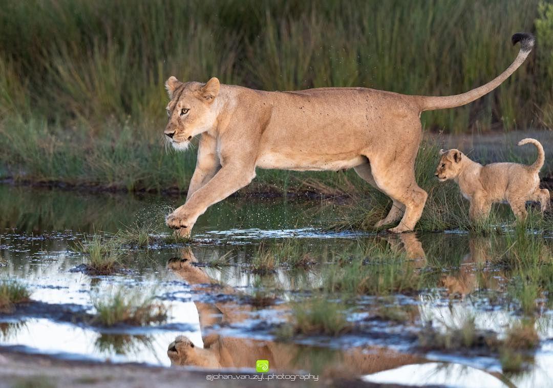 Pin By Shikha Dutta On Animals Hardly House Cats Animals Wild Animals Big Cats