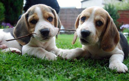 Beagle Breed  www.dogsandpuppies.co.uk