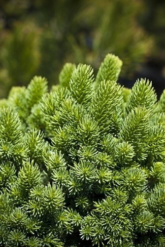 Picea Abies Suncrest Norway Spruce Conifers Picea Abies