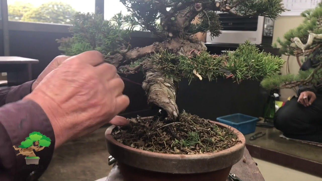 Peachy Pruning And Wiring By Masahiko Kimura Part 3 Loveliness Of Bonsai Wiring Cloud Oideiuggs Outletorg