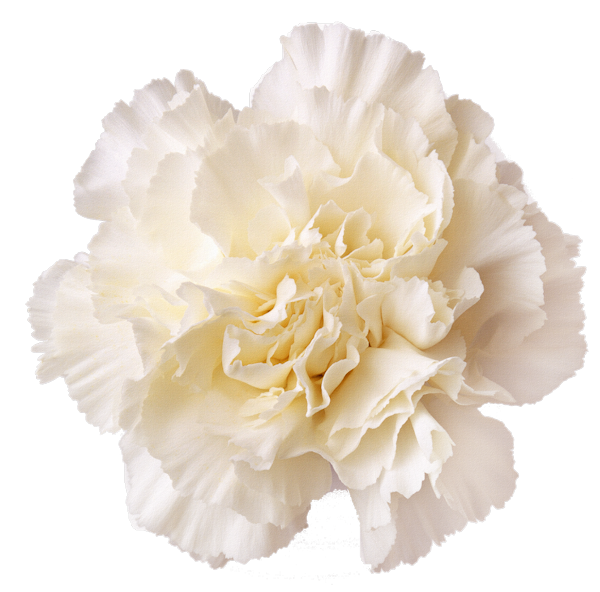 Love S Bounty 4 Png Valentines Day White Carnation