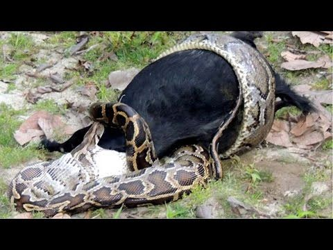 Saltwater Crocodile Getting Eating By A Pet Cat