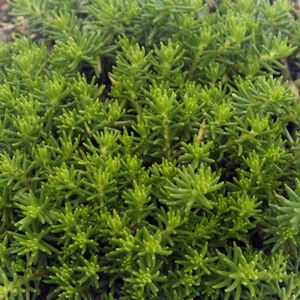 Creek Hill Nursery Sedum Reflexum Green Spruce Sedum Perennials Plants