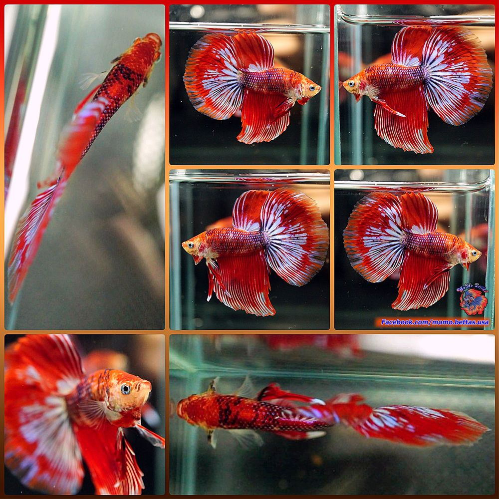 Live Betta Fish Male Fancy Multicolored Koi Galaxy Halfmoon HM #855 ...