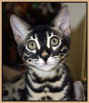 Charcoal Brown Bengal Cat Courtesy Of Gail At Kiabindhi Www