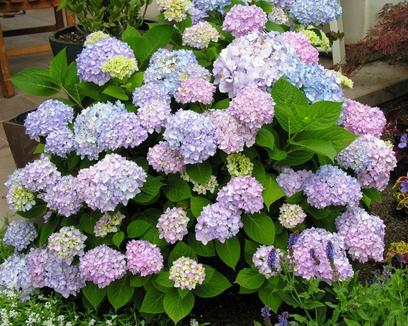 Endless Summer Hydrangea Well Rounded Shrub Reaches 3 To 5 Ft Tall And Wide Filtered Sun Summer Hydrangeas Endless Summer Hydrangea Hydrangea Landscaping
