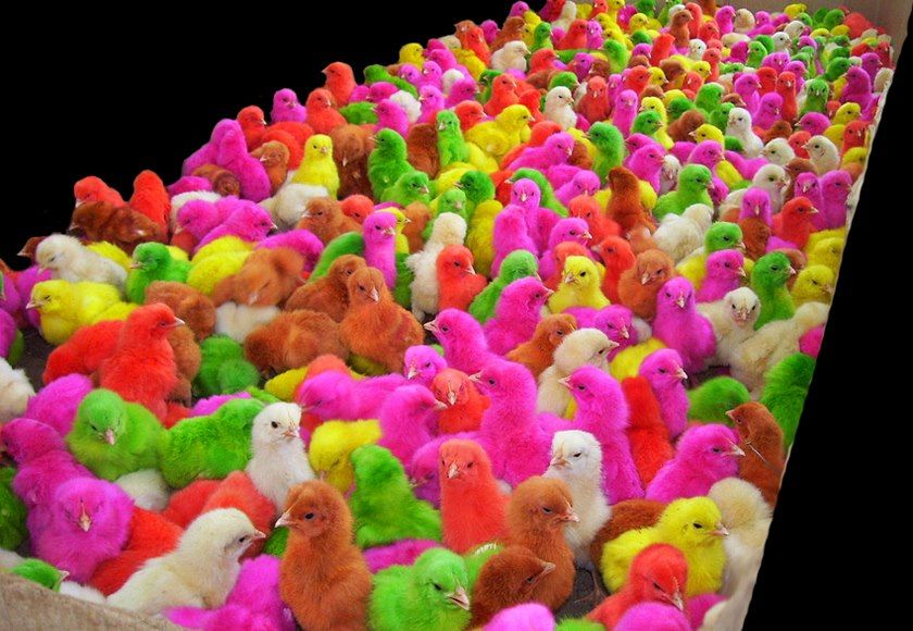 Cute Colored Baby Chicks Most Beautiful Pages