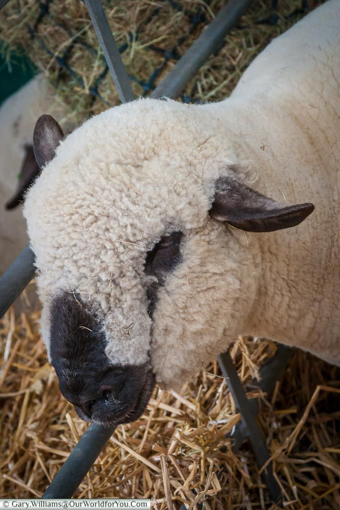 Discover the rural life at an English County Show Sheep