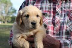 Pure Golden Retriever Pups Puppies For Sale Barham New South