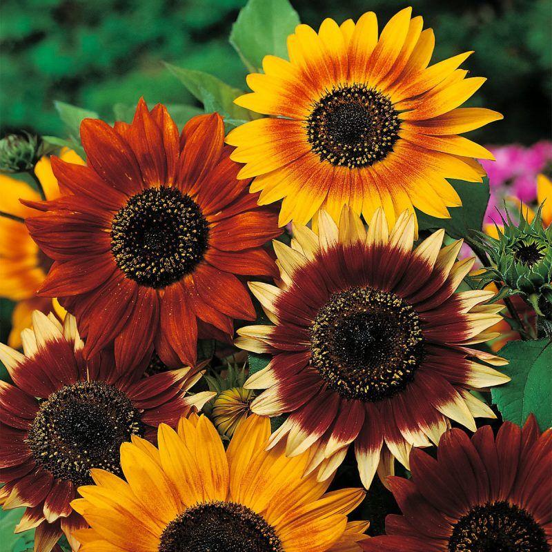 vielfalt an blumenarten sonnenblumen vielfalt und blumengesch fte. Black Bedroom Furniture Sets. Home Design Ideas