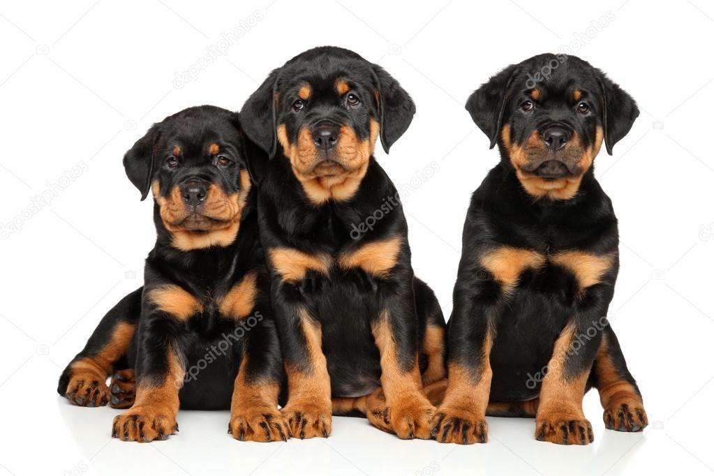 German Rottweiler Puppies Universal German Rottweiler Puppies