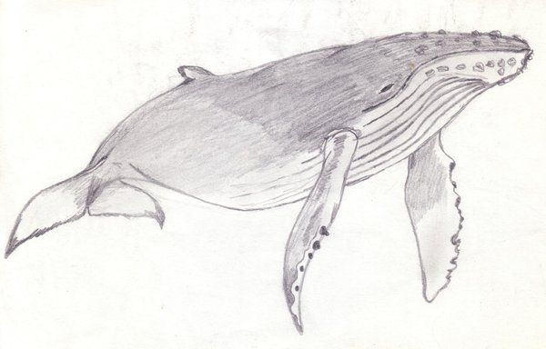 Humpback Whale Coloring Pages Humpback Whale By Parabuteo78 On