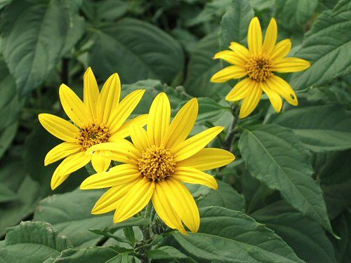 Jerusalem artichoke the artichoke part of the jerusalem jerusalem artichoke helianthus tuberosus is a wild edible plant also called sunroot sunchoke earth apple or topinambour is a species of sunflower mightylinksfo Images