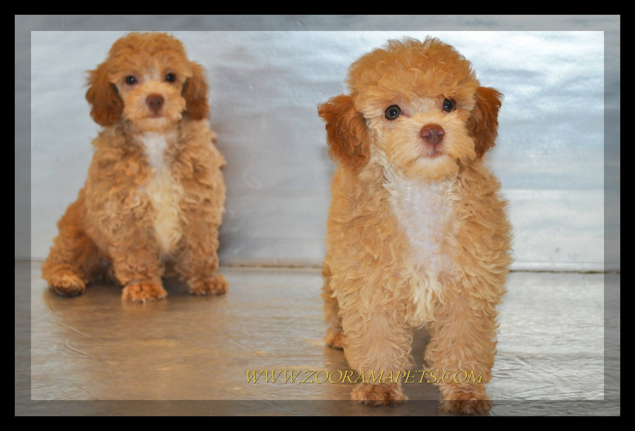 chihuahua toy poodle