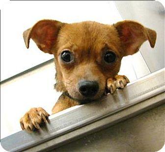 Birmingham Al Chihuahua Mix Meet Angel A Dog For Adoption