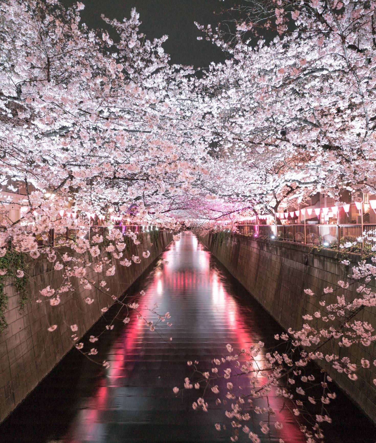Flow Art Station Bloom Cherry Tree Flow Art Station Hanami Japan Japanese Culture Photography Sakura Cherry Blossom Japan Tokyo Cherry Pink Blossom Tree