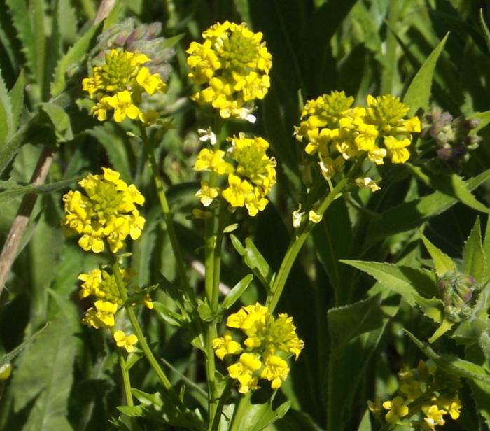 Wild mustard four petal cluster yellow spring herbs plus their wild mustard four petal cluster yellow spring mightylinksfo
