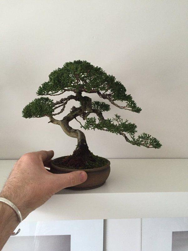 Shohin Bonsai Shohin Bonsai Bonsai Tree Tattoos Bonsai Tree Types Bonsai Tree