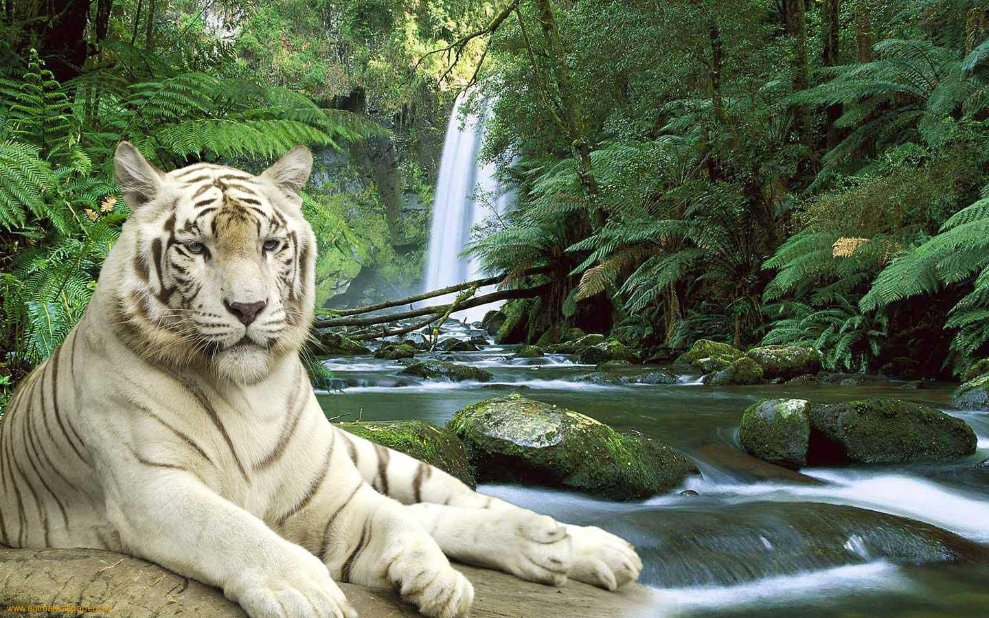 White Tiger Rainforest Pictures Waterfall Tiger Pictures