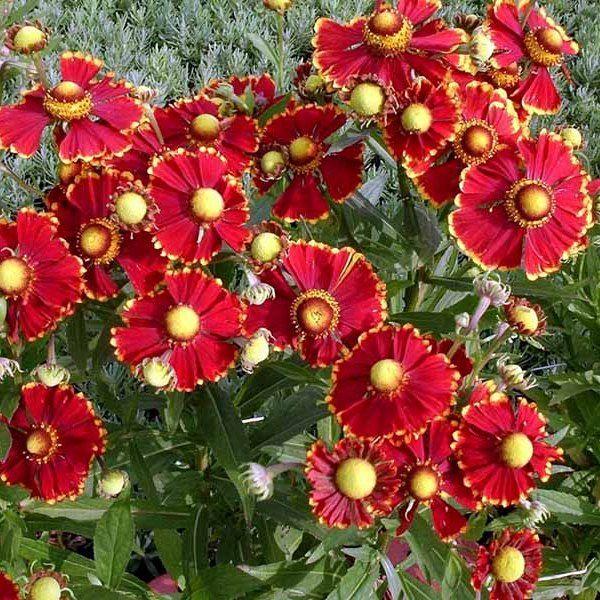 Красные садовые цветы картинки с описанием