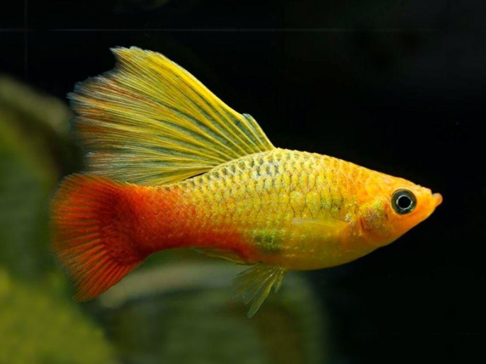 Pair Of Variatus Multicolor Highfin Platy Aquarium Fish Platy Fish Betta Aquarium