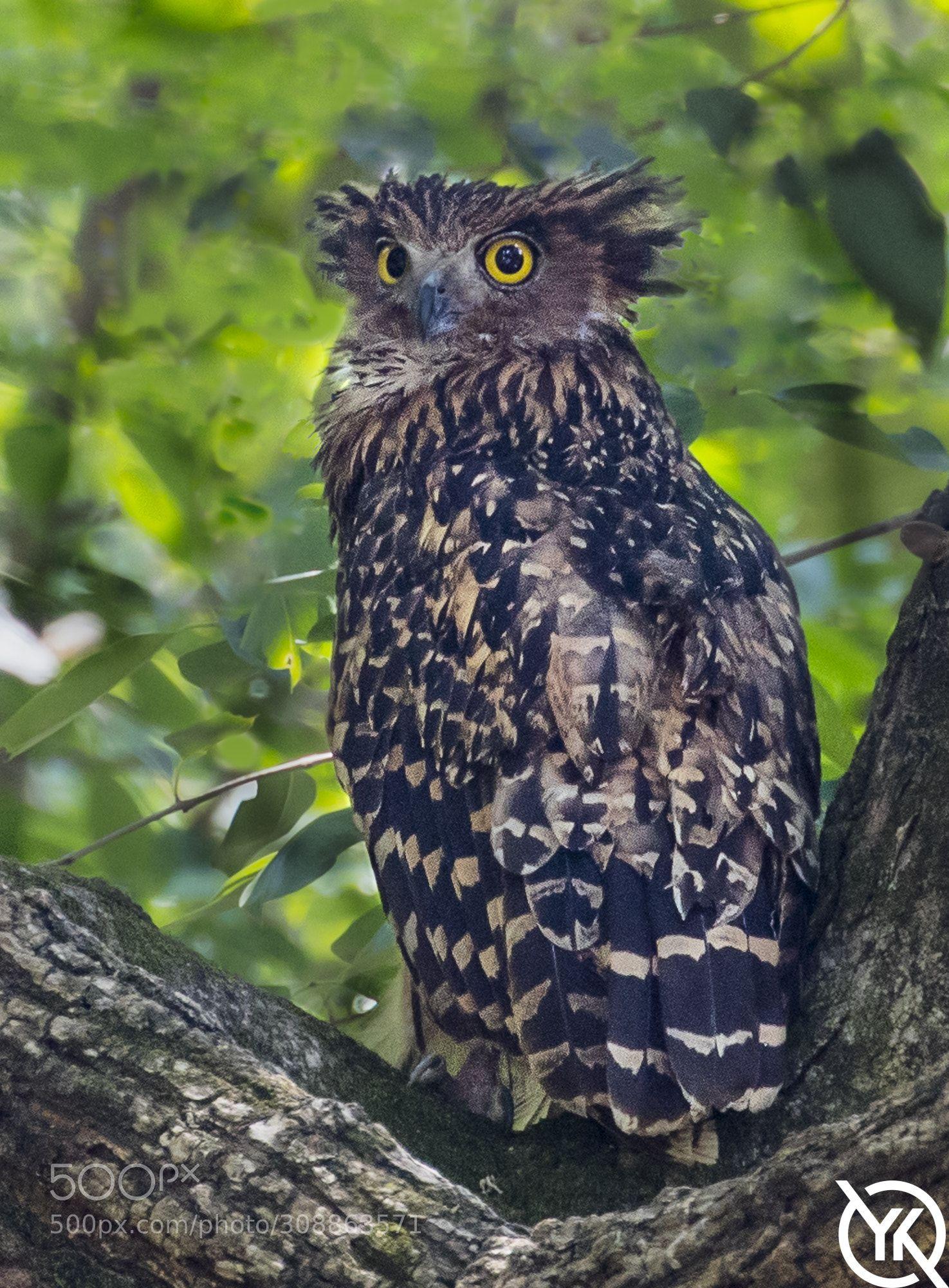 Tawny Fish Owl Owl Beautiful Owl Birds