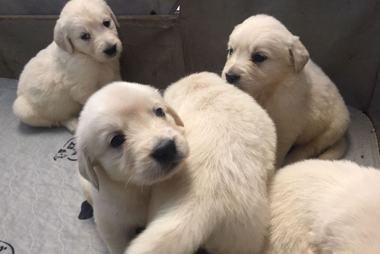 Thomas Flynn Has Golden Retriever Puppies For Sale In Johnstown