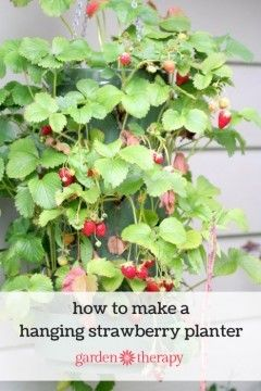 How to grow a hanging strawberry planter 30 plants in just 2 feet of space and you don't need a garden