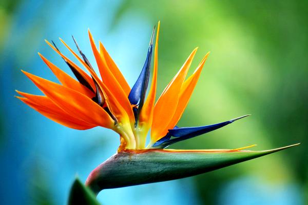 Blue Bird of Paradise by Massano.deviantart.com  interesting flower
