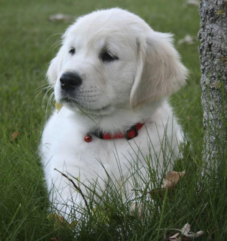 Sweet English Cream Golden Retriever Puppy Goldenpuppies Golden