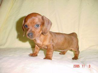 The Dognabbit Dog Blog Baby Wiener Dog Puppy Wiener Dog Puppies Baby Weiner Dogs Dogs And Puppies