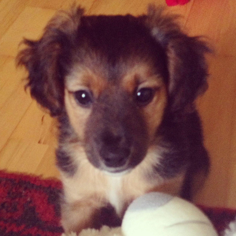 Benny (Beagle, Cocker Spaniel, Jack Russell Terrier