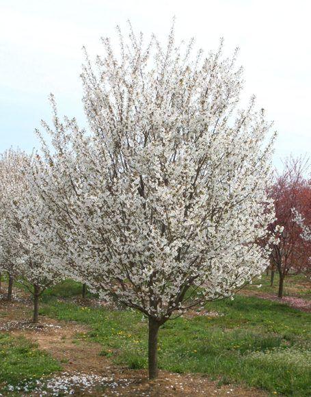 Prunus X Snow Goose 20 To 25 X 20 To 25 Flowering Cherry Tree Deciduous Trees Cherry Tree