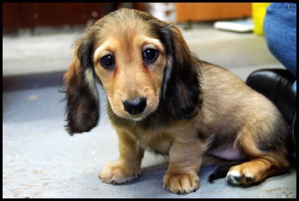 Crate Training For A Puppy Obedience Starts Here Dachshund