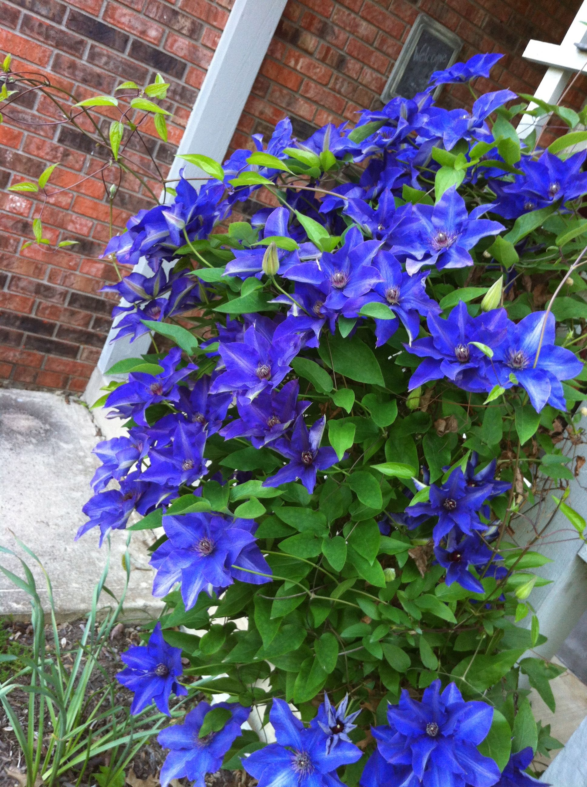 the president clematis just keeps blooming via the garden. Black Bedroom Furniture Sets. Home Design Ideas