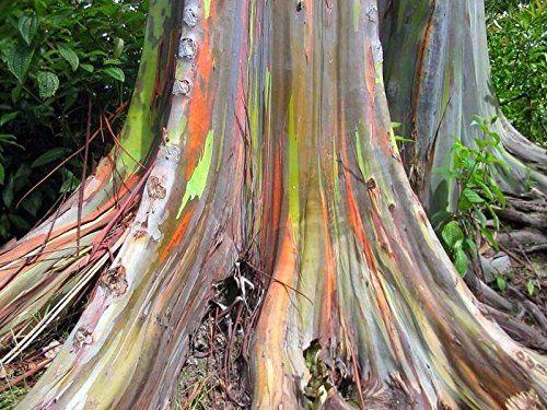 regenbogen baum regenbogen eucalyptus samen zum. Black Bedroom Furniture Sets. Home Design Ideas