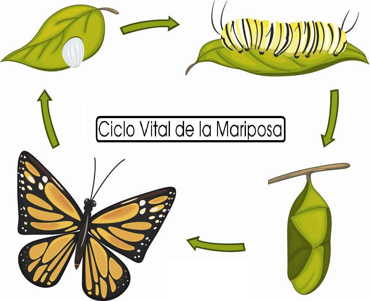 Ciclo Vital De La Mariposa Color 15 Ciclo Vital Mariposa Monarca Dibujo De Serpiente