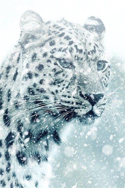 صور فهد أجمل صور حيوان النمر مع بعض المعلومات عنه Animals Cheetah Pictures Cheetah Animal