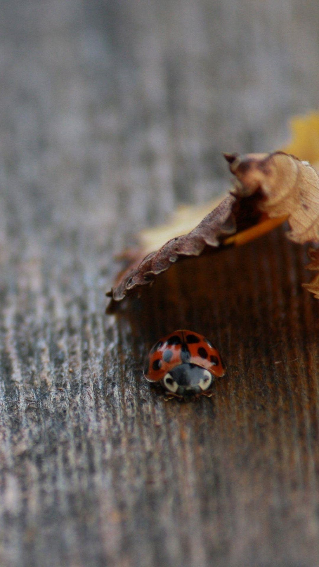 Ladybug Under Leaf Nature Wooden Board iPhone 8 Wallpapers