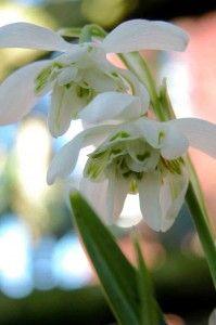 Snowdrops Galanthus nivalis flore pleno