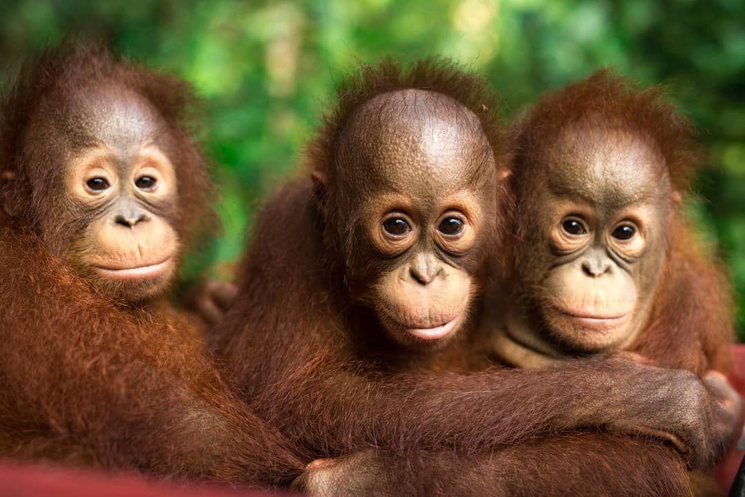 Bos Deutschland On Instagram Deine Stimme Zahlt Nicht Vergessen Heute Hast Du Die Wahl Deine Stimme Kann Den Orangutan Borneo Orangutan Bornean Orangutan