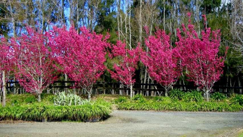 Taiwan Cherry Tree Prunus Campanulata Superba Garden Inspiration Plants Backyard