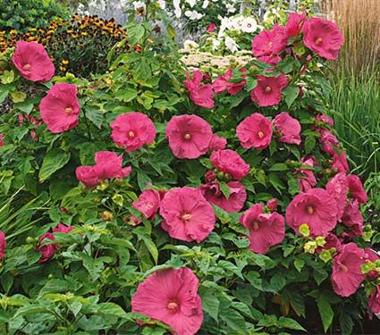 New Hibiscus Jazzberry Jam White Flower Farm Www Whiteflowerfarm Com White Flower Farm Hummingbird Plants Hibiscus