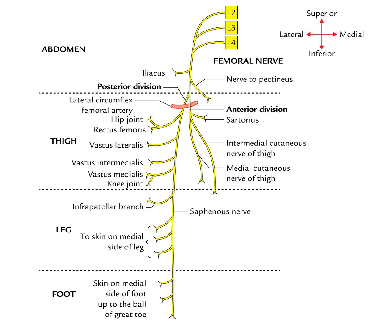 LECTURE 10 - ANT/MED THIGH/KNEE at Touro University (NV ... |Femoral Nerve Pain Thigh