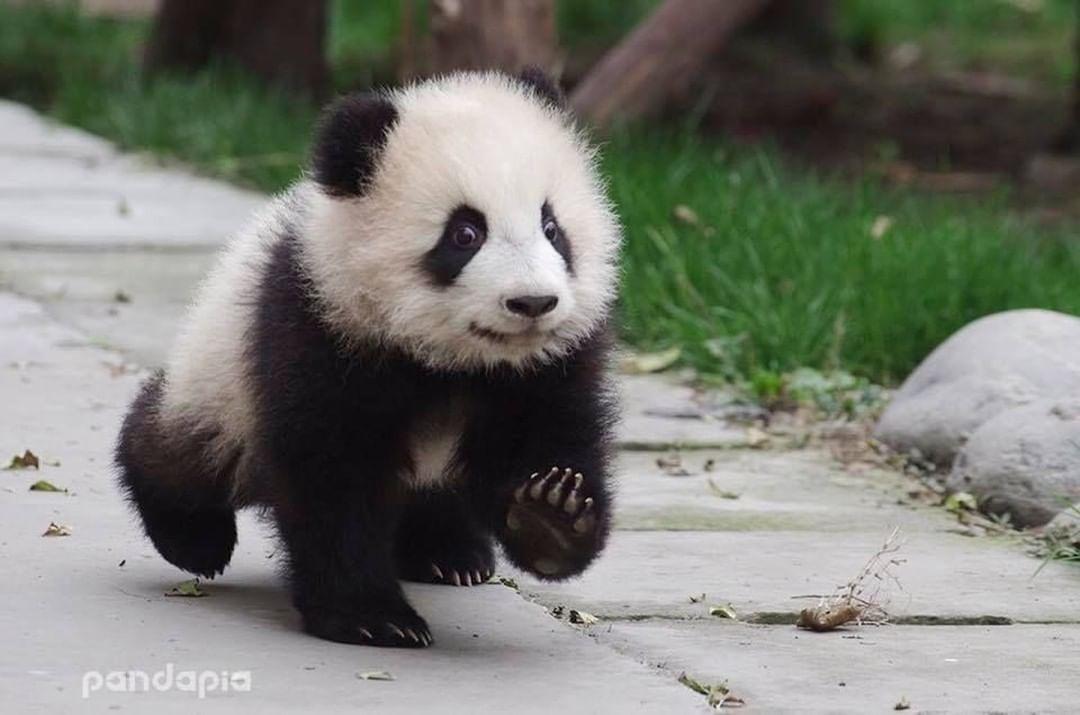 'Epic Panda with hammer' by Rhoar #babypandabears
