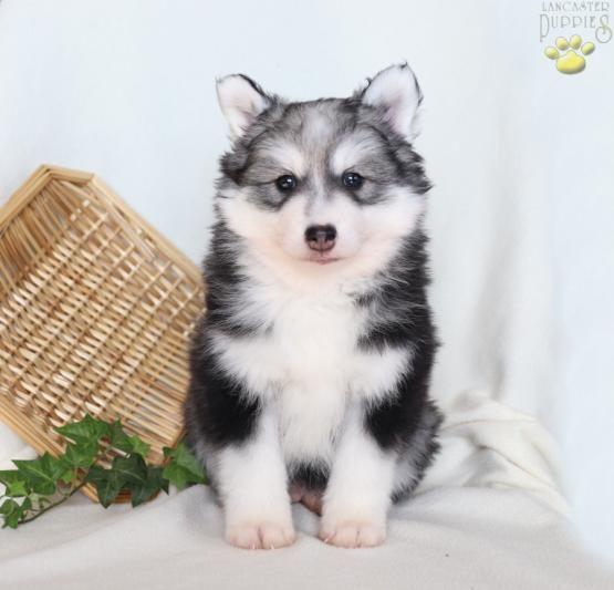 Pomsky Charming Puppiesofpinterest Pinterestpuppies