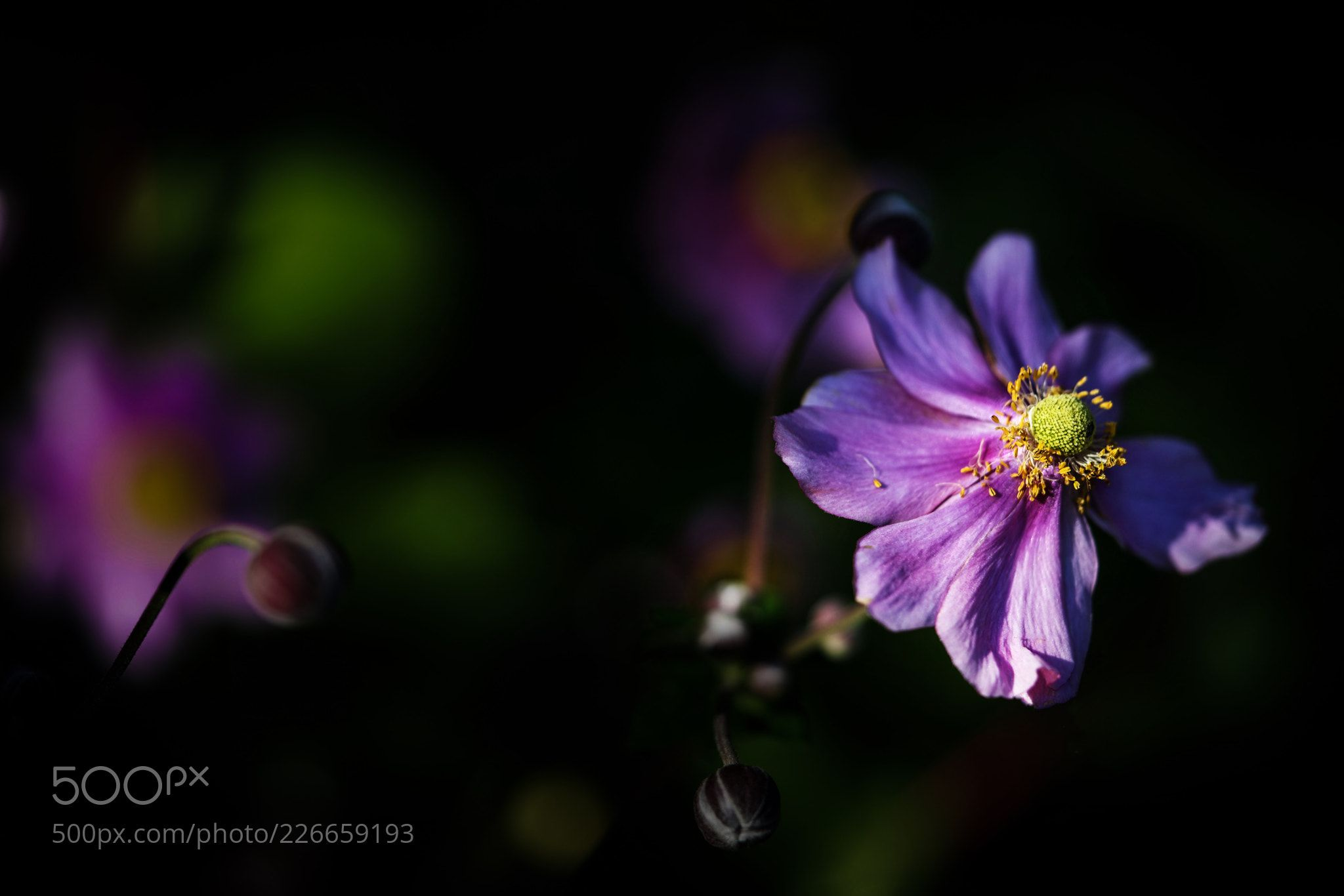Japanese Anemone in dappled light1 (Rajesh Munglani / Cambridge / United Kingdom) #DSC-H10 #macro #photo #insect #nature